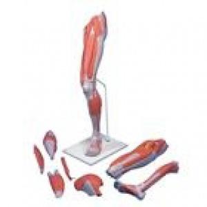 Mô hình giải phẫu cơ xương chi trên gồm 7 phần lớn bằng kích thước thật